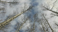 Stock Video Footage of Aspen Trees Sky