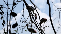 White Stork near a Pond, Ciconiidae Family, Ciconiiformes, Large Wading Bird Stock Footage