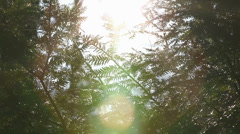 Pine branches in wind with flare 2 - stock footage
