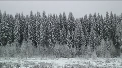 000005 Wind Sway Frozen Pine Forest Tree Finland Stock Footage