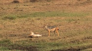 Two Jackals in the Masai Mara Reserve Stock Footage