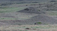 Jackals in the Masai Mara Reserve Stock Footage