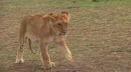 Lion cub walking Stock Footage