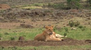 Group lion cubs Stock Footage