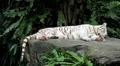 White Siberian Tiger (Panthera Tigris Altaica) Amur, Altaic, Ussuri Tiger Footage