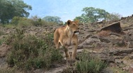 Lion watching Stock Footage
