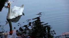 Beautiful White Mute Swan Swimming in a Lake, Cygnus, Anatidae (Bird Family) Stock Footage