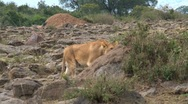 Lion arriving Stock Footage