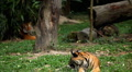 Orange Siberian Tiger (Panthera Tigris Altaica) Amur, Altaic, Ussuri Tiger HD Footage