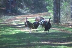 Wild Turkey Gobblers Stock Footage