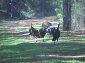 Stock Video Footage of Wild Turkey Gobblers