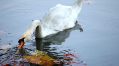 Beautiful White Mute Swan Swimming in a Lake, Cygnus, Anatidae (Bird Family) Stock Footage