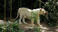 White Siberian Tiger (Panthera Tigris Altaica) Amur, Altaic, Ussuri Tiger Stock Footage