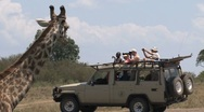 Stock Video Footage of Giraffe in front of safari car