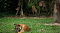 Orange Siberian Tiger (Panthera Tigris Altaica) Amur, Altaic, Ussuri Tiger Footage