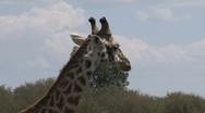 Giraffe close-up Stock Footage
