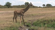 Stock Video Footage of Giraffe drinking water