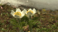 Western Anemone wildflowers Stock Footage