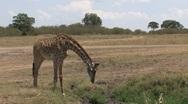 Giraffe drinking water Stock Footage