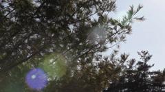 Pine tree sways in wind_1 - stock footage
