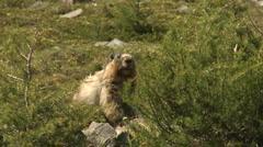 Hoary Marmot 02 Stock Footage