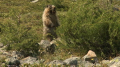 Stock Video Footage of Hoary Marmot 01