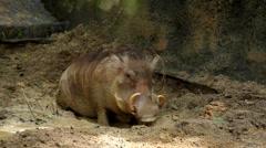 Stock Video Footage of Wart-hog, Warthog in Mud, African Lens-Pig, Phacochoerus Africanus, Wild Pig