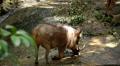 Wart-hog, Warthog in Mud, African Lens-Pig, Phacochoerus Africanus, Wild Pig Footage