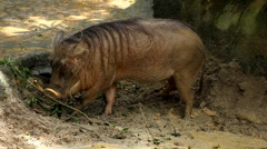 Wart-hog, Warthog in Mud, African Lens-Pig, Phacochoerus Africanus, Wild Pig Stock Footage