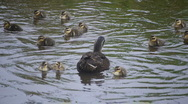 Stock Video Footage of Mama Mallard Duck and Babies in Holly Hill, FL