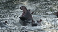 Stock Video Footage of Hippo with mouth open
