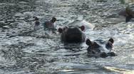 Stock Video Footage of Hippos