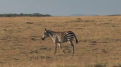 Zebra walking Stock Footage