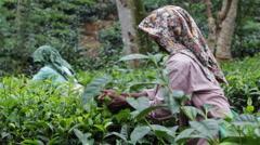 Tea leafs close up at Tea plantation, Sri Lanka Stock Footage