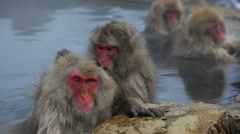 Helping hand Japanese Macaques monkeys, Jigokudani reserve, Chubu, Japan, Asia  - stock footage