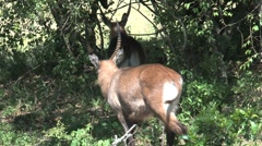 Antelope in the Masai Mara reserve Stock Footage