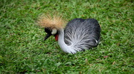 Stock Video Footage of African Grey Crowned Crane (Balearica Regulorum), Bird In Crane Family Gruidae
