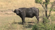 Stock Video Footage of African buffalo