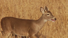 Deer Young Buck Running Stock Footage