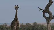 Giraffe under a tree zoom-out Stock Footage