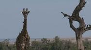 Giraffe under a tree Stock Footage