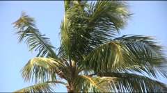 Coconut Tree Blowing In The Wind - stock footage