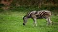 Large Herd of Zebra, African Equids, Black and White, Hippotigris, Savanna Footage