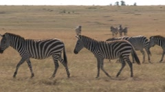 Group zebras walking Stock Footage