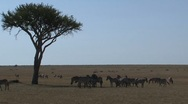 Big group Zebras Stock Footage