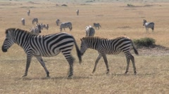 Zebra young Stock Footage