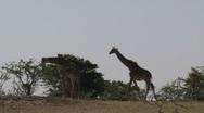 Giraffes Stock Footage