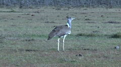 Kori bustard walking Stock Footage