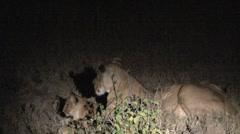 Lion äiti metsästys Arkistovideo