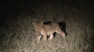 Stock Video Footage of Lion cub with elephant dung